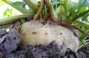 Wzrasta powierzchnia upraw buraków cukrowych