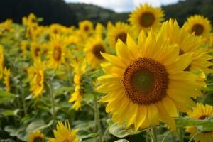 Ukraina: Rekordowa powierzchnia uprawy roślin oleistych pod zbiory w 2021 r.