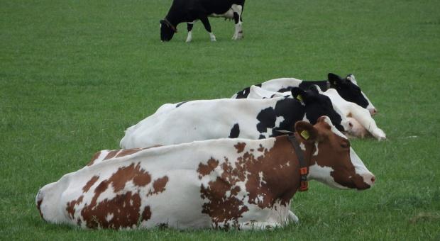 Holandia: Limity produkcji fosforanów zmniejszą produkcję mleka