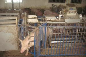 Świnia przechodząc przez wagę jest przyporządkowana do właściwego kojca, z odpowiednią dla niej paszą; Fot. Redis