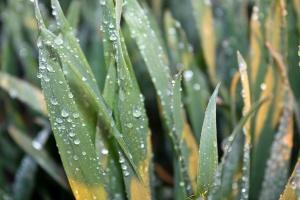 Mocznik w dokarmianiu zbóż – jakie stężenie roztworu?