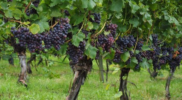 Lubuskie winnice online – w czwartek premiera