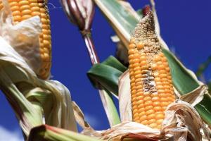 Porażenie kukurydzy chorobami w zależności od rodzaju nawozu azotowego