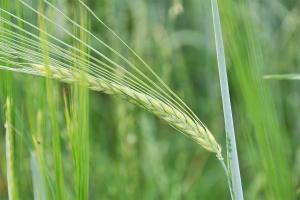 Środki chemiczne a jakość ziarna jęczmienia browarnego