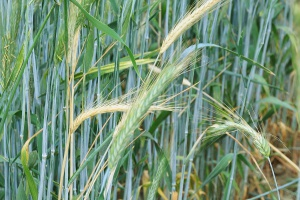 Stosowanie herbicydów a występowanie chorób podsuszkowych
