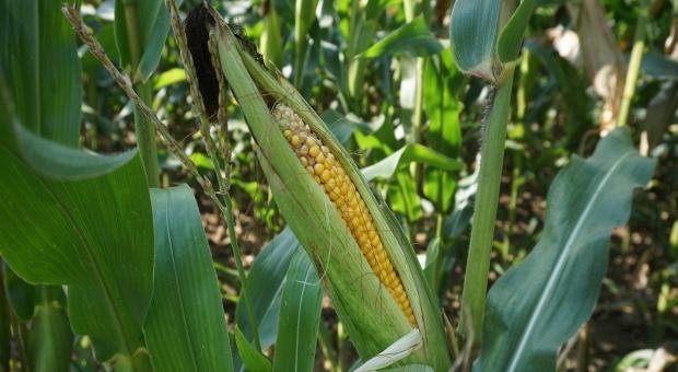 Rosja oczekuje rekordowych zbiorów zbóż