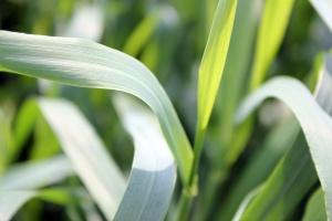 Na plantacje zbóż nalatuje pryszczarek zbożowiec