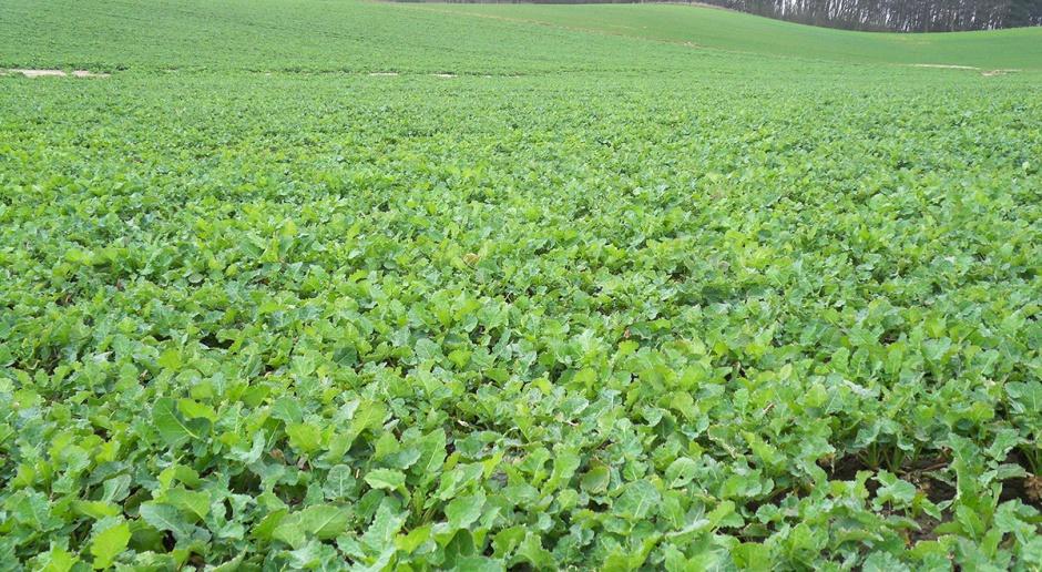 Mikroelementy na zielony pąk rzepaku