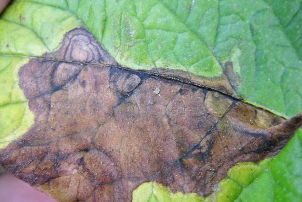 Preparaty naturalne w ochronie ziemniaka przed alternariozą