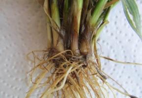 Silnie zainfekowane łamliwością podstawy źdźbła pochwy liściowej pszenicy ozimej z pola o systemie uprawy pasowej (lubelskie 16.03.2016)