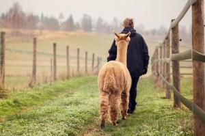5 rzeczy, o których musisz wiedzieć zanim kupisz alpakę