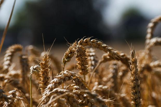 Mocny spadek pszenicy w Chicago