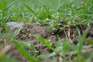 Zwalczanie chwastów od fazy drugiego kolanka zbóż