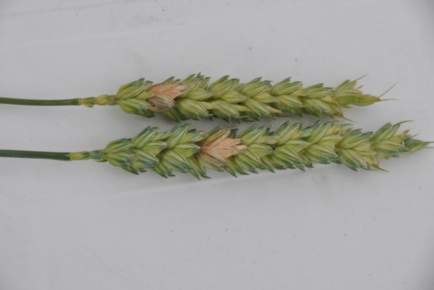 Fuzariozy zbóż