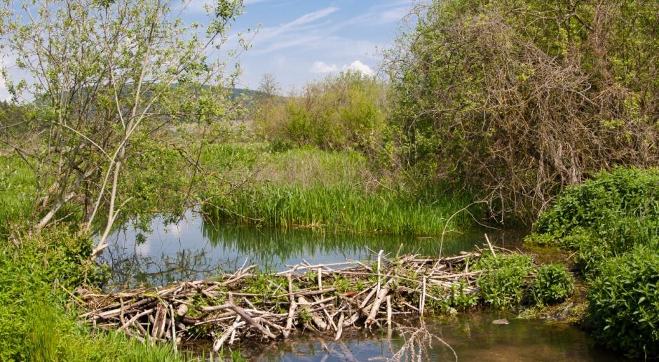 Bobry zatopiły łąkę, rolnik nie zebrał siana, sąd nie dał odszkodowania - kolejna skarga RPO