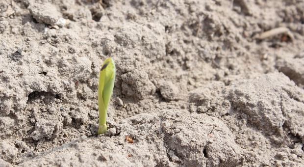 Wschody kukurydzy – z powodu chłodnego okresu często nierównomierne