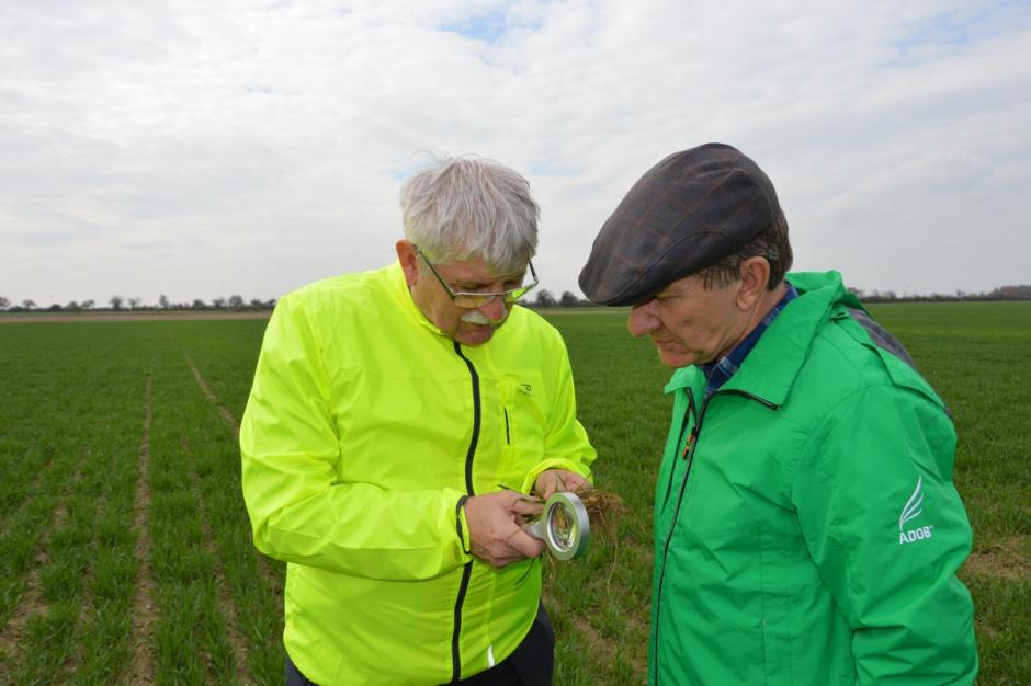 Prof. Marek Korbas i Michał Kamiński podczas polowej oceny plantacji pszenicy