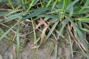 Objawy septoriozy paskowanej liści pszenicy