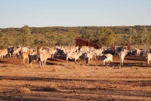 Australia nie chce sprzedać swej hodowli bydła Chińczykom