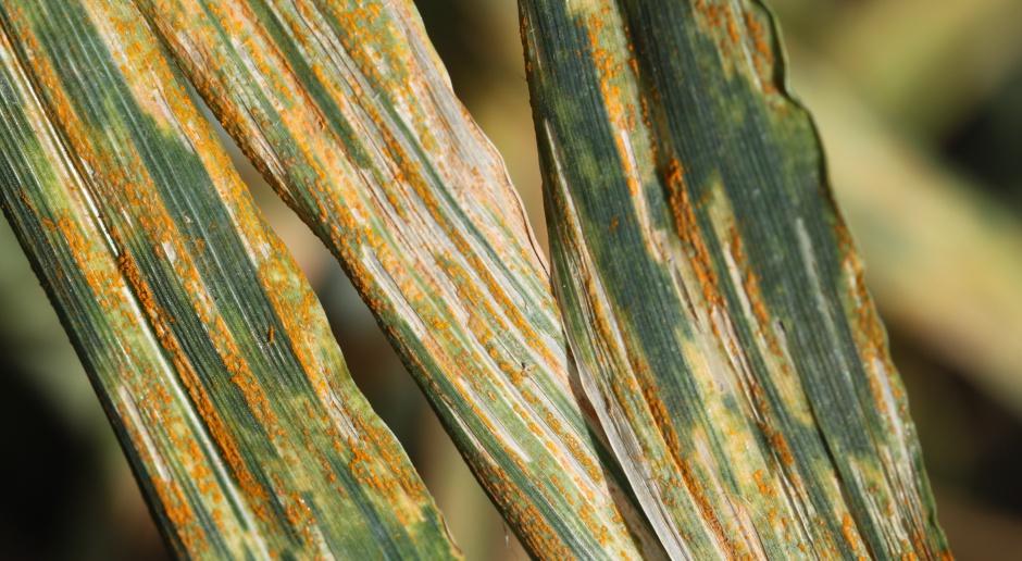 Rdza brunatna pszenicy