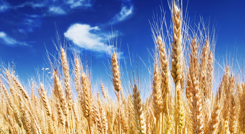FAO: Aktualna prognoza światowego rynku zbóż