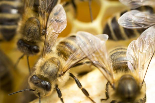 Naukowcy o leśnych pszczołach w barciach
