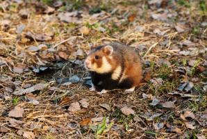 Coraz mniej dziko żyjących chomików europejskich na Śląsku