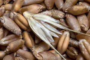 Giełdy krajowe: Po majówce zastój w handlu zbożami