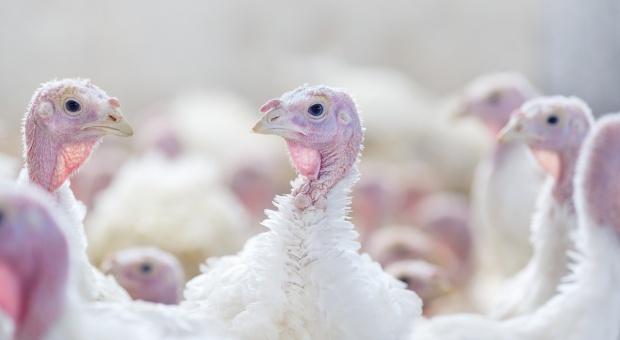 Grypa ptaków to poważne zagrożenie dla polskiego drobiarstwa