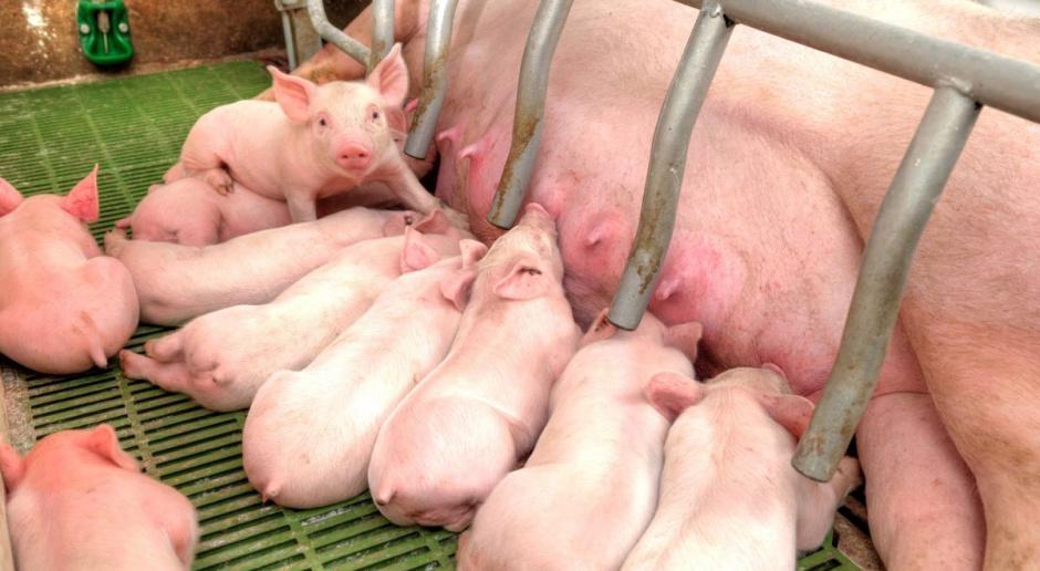 Do odbudowy pogłowia świń potrzebne również duże gospodarstwa