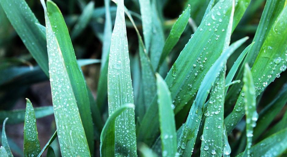 Czas rozważyć wykonanie zabiegu T2 w pszenicy ozimej, w łanach dominuje mączniak