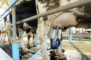 Spada światowa produkcja mleka