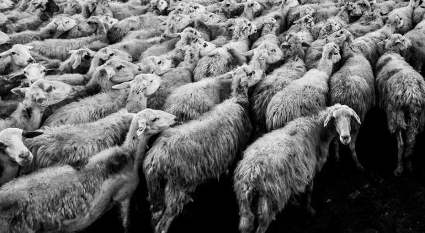 UE: Trwa spadek cen owiec i jagniąt