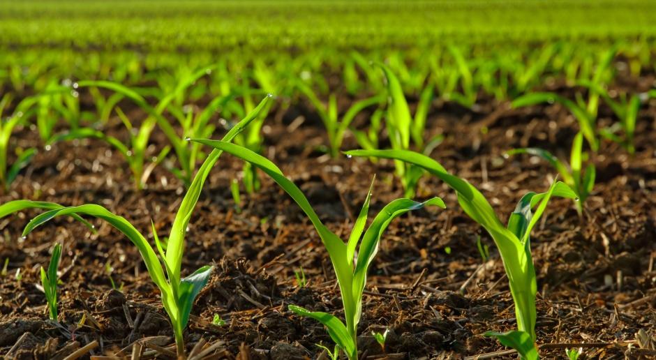 Dokarmianie dolistne kukurydzy