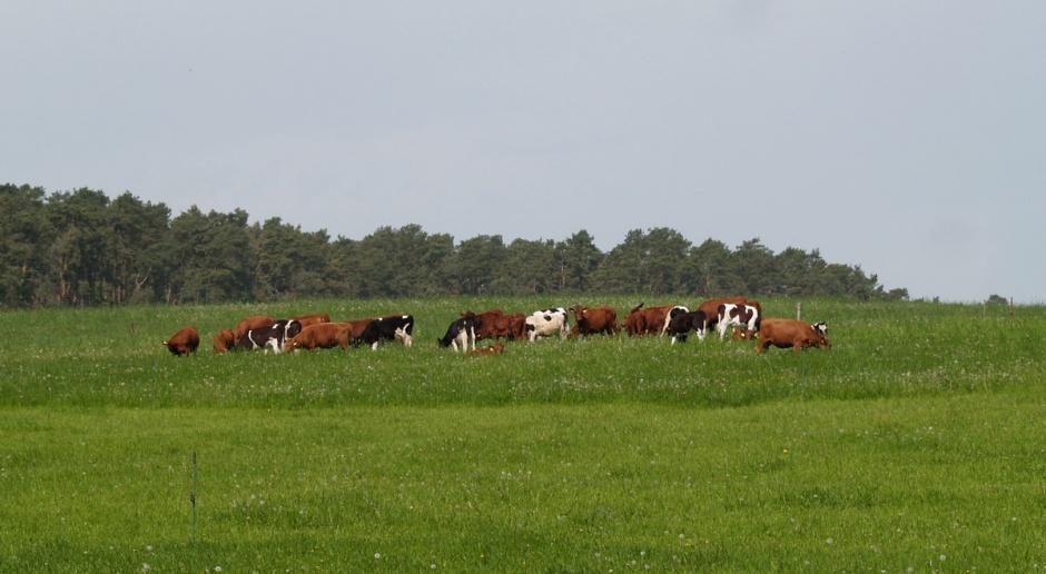 Przy żywieniu pastwiskowym ostrożnie z białkiem