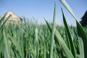 Sucho – rolnicy rezygnują z podania III dawki azotu