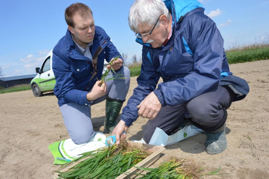 Prof. Marek Korbas i mgr Jakub Danielewicz z IOR – PIB w Poznaniu przeprowadzają polową ocenę pszenicy