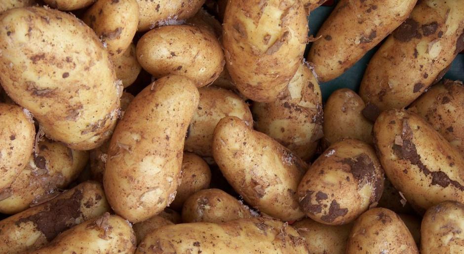 Polska w czołówce europejskich producentów ziemniaków, ale zbiory maleją