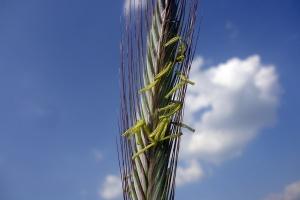 Kwitnienie żyta, wkrótce pszenżyta – ostrożnie z opryskami