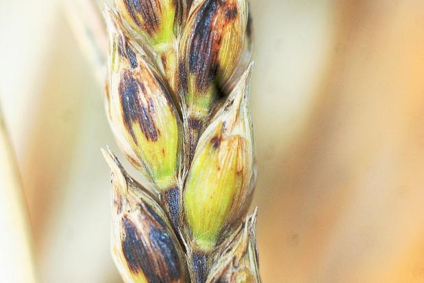 Septorioza plew pszenicy zabiera plon