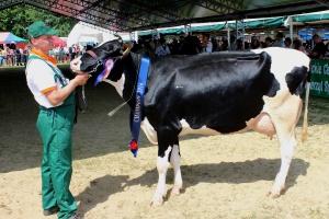 Czempion w kategorii krowy rasy PHF w pierwszej laktacji, odmiana HO