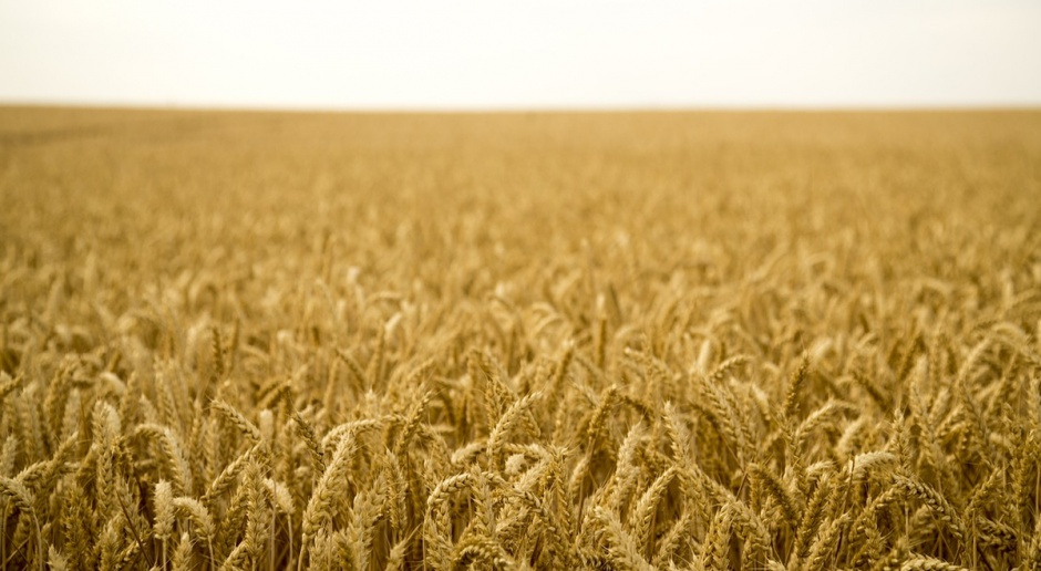 Giełdy krajowe: Ceny zbóż stabilne, kukurydza drożeje