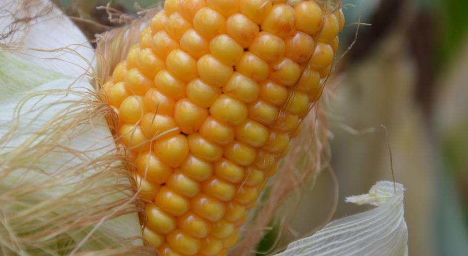 Rosja i Ukraina będą eksportować więcej zbóż