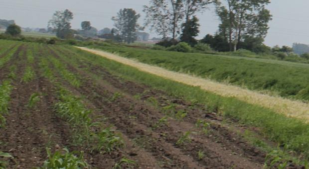Podkarpacie: Szkodniki przerzedziły zasiewy kukurydzy