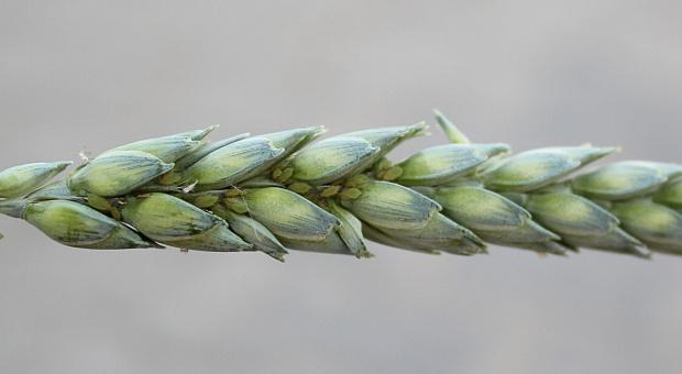 Kłosy pszenicy zasiedla mszyca zbożowa– konieczna interwencja insektycydowa