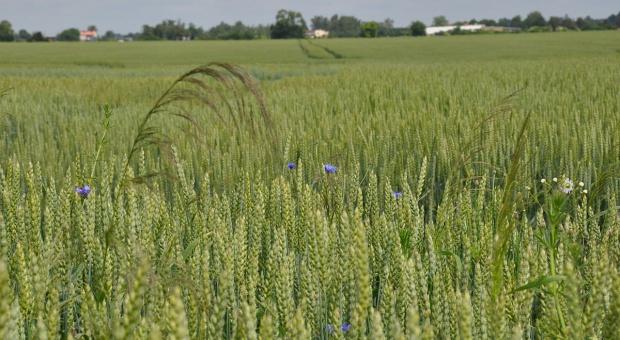 Saracen Delta 550 SC nowy herbicyd zbożowy