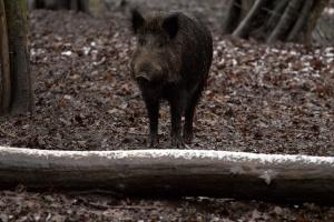 Wnioski o rekompensatę za rezygnację z chowu świń do 15 września