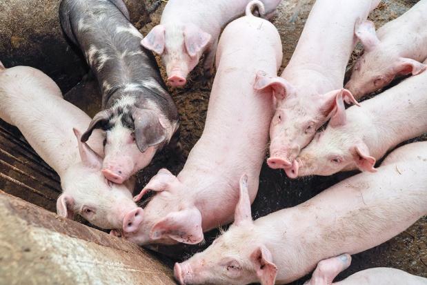 Gdzie szukać tańszego białka dla świń?