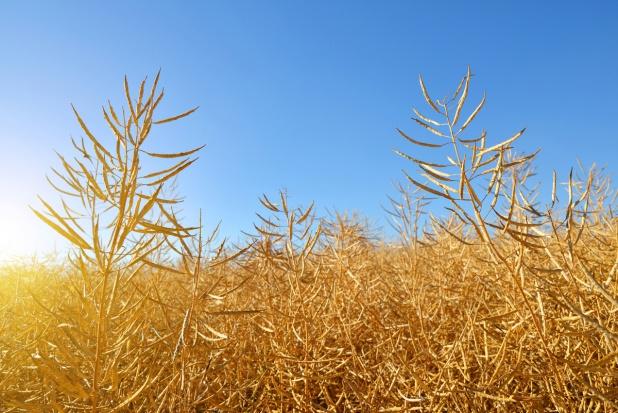 Kolejny miesiąc wzrostu cen zbóż i oleistych