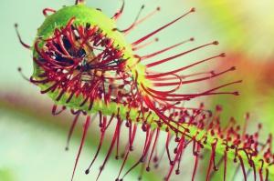 130 gatunków roślin mięsożernych na wystawie w gliwickiej Palmiarni
